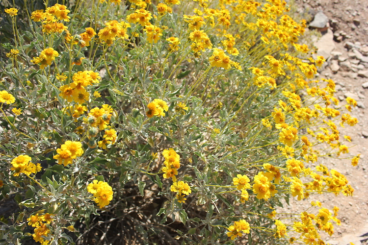 A hundred bright yellow flowers in a desert wash