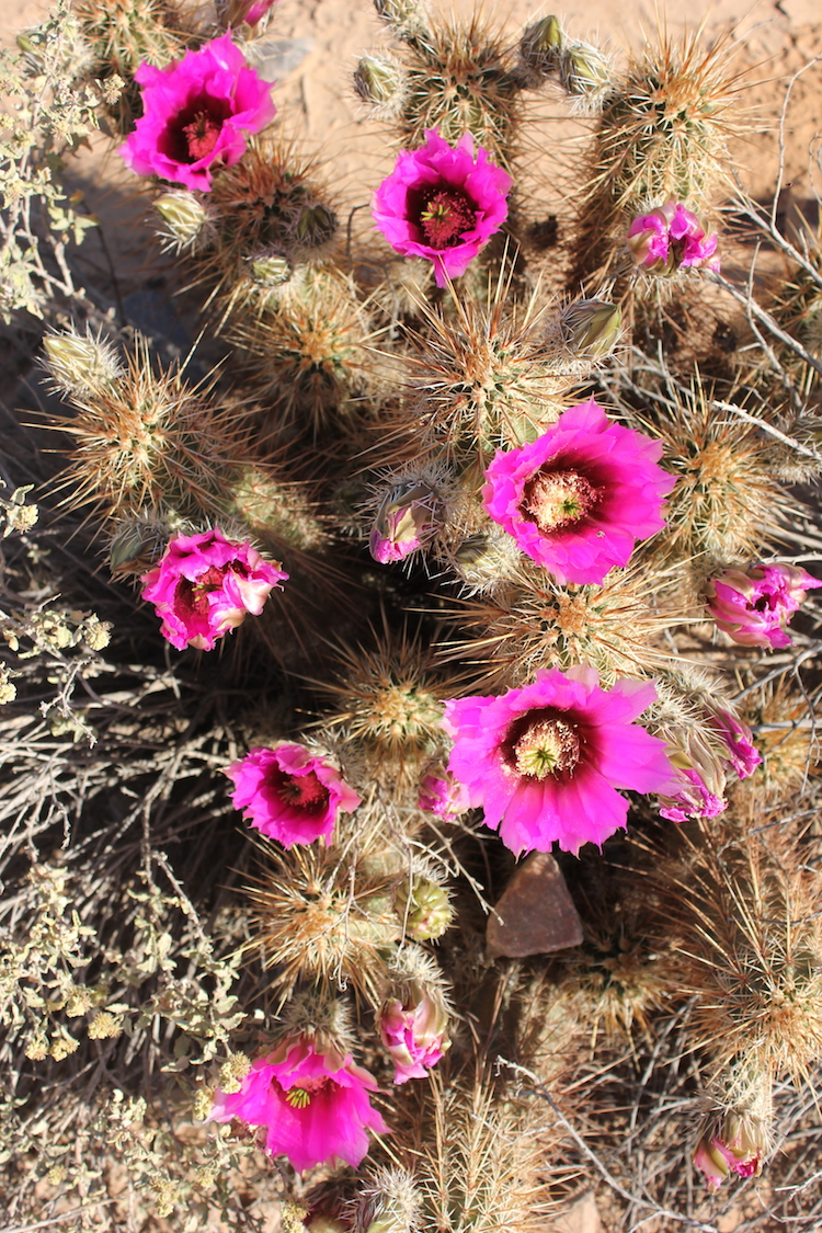 Pink Cactus blossoms blooming in the Arizona desert in spring