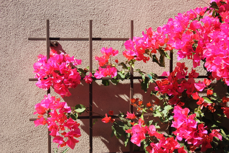 Lines of pink flowers on a stucco wall